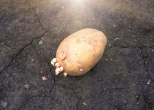 Sprouted potatoes on the land, agrarian background Royalty Free Stock Photography