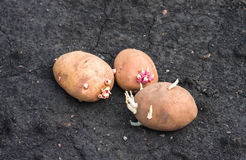 Sprouted potatoes on the land, agrarian background Stock Images