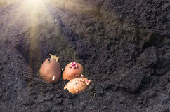 Sprouted potatoes on the land, agrarian background. Potato on the ground, planting sprouted tubers spring, agrarian background Royalty Free Stock Images