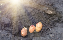 Sprouted potatoes on the land, agrarian background. Potato on the ground, planting sprouted tubers spring, agrarian background Stock Image