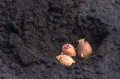 Sprouted potatoes on the land, agrarian background Royalty Free Stock Image