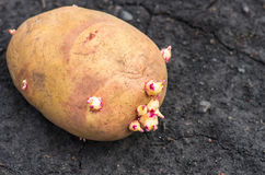 Sprouted potatoes on the land, agrarian background. Potato on the ground, planting sprouted tubers spring, closeup, agrarian background Royalty Free Stock Image