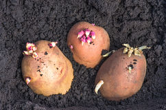 Sprouted potatoes on the land, agrarian background. Potato on the ground, planting sprouted tubers spring, closeup, agrarian background Royalty Free Stock Images