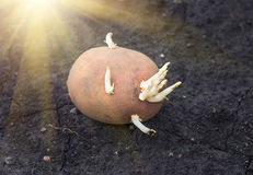 Sprouted potatoes on the land, agrarian background. Potato on the ground, planting sprouted tubers spring, closeup, agrarian background Royalty Free Stock Photography