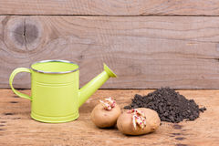 Sprouted potatoes on an old wooden rustic table - selective focus, copy space Stock Images