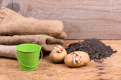 Sprouted potatoes on an old wooden rustic table - selective focus, copy space Stock Image