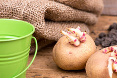 Sprouted potatoes on an old wooden rustic table - selective focus, copy space Royalty Free Stock Images