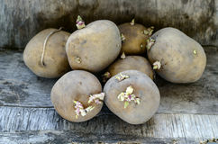 Sprouted potatoes for planting Royalty Free Stock Images