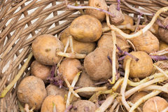 Sprouted potatoes in wicker basket Royalty Free Stock Image