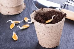 Sprouted pumpkin seeds stock photo