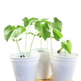 Sprouted que cresce a planta de feijões pequena brota no vidro Fotos de Stock
