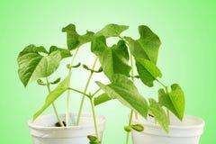 Sprouted que cresce a planta de feijões pequena brota no vidro Foto de Stock Royalty Free