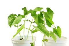 Sprouted que cresce a planta de feijões pequena brota no vidro Fotografia de Stock Royalty Free