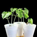 Sprouted que cresce a planta de feijões pequena brota no vidro Imagem de Stock Royalty Free