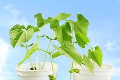 Sprouted que cresce a planta de feijões pequena brota no vidro Fotos de Stock Royalty Free