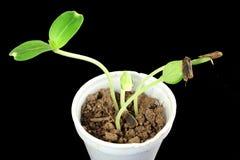 Sprouted que cresce a planta pequena da cabaça de garrafa brota no vidro Imagem de Stock