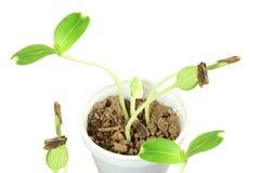 Sprouted que cresce a planta pequena da cabaça de garrafa brota no vidro Fotografia de Stock