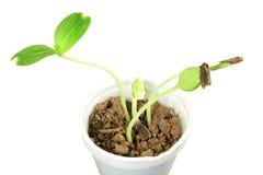 Sprouted que cresce a planta pequena da cabaça de garrafa brota no vidro Foto de Stock