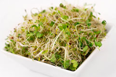 Sprouted radish seeds. Organic sprouted radish seeds over white royalty free stock photo