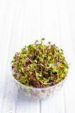 Sprouted radish seeds. In a plastic container Royalty Free Stock Images