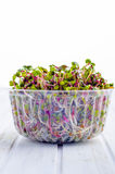 Sprouted radish seeds. In a plastic container Stock Photography