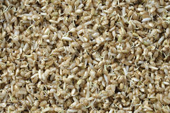 Sprouted rice Stock Photography