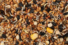 Sprouted seeds close up Stock Image
