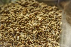 Sprouted seeds for eating stock images