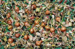 Sprouted seeds of various crops on the green surface Royalty Free Stock Photography