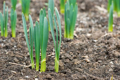 Sprouted spring flowers daffodils in early spring garden Royalty Free Stock Photos