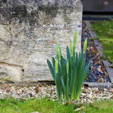 Sprouted spring flowers daffodils near the stone wall Stock Photo