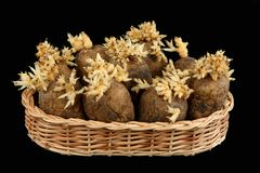 The sprouted tubers of a potato Stock Photography