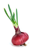 Sprouted violet onion Royalty Free Stock Image