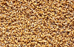 Sprouted wheat background Royalty Free Stock Photo