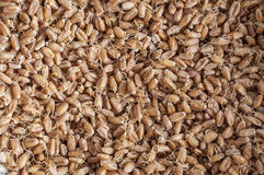 Sprouted wheat berries Royalty Free Stock Photography