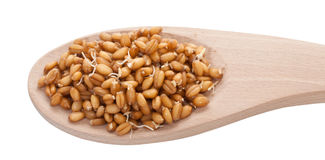 Sprouted wheat grain Stock Images