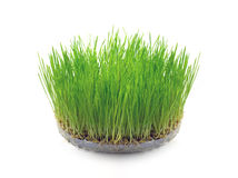 Sprouted wheat grain in the form of grass Royalty Free Stock Image
