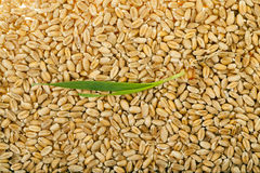 Sprouted wheat grain Royalty Free Stock Image