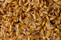Sprouted Wheat Grains Royalty Free Stock Images