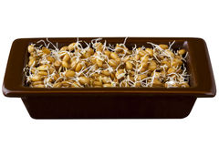 Sprouted wheat grains Stock Image