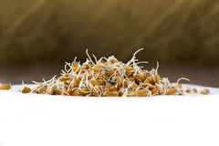 Sprouted wheat grains Royalty Free Stock Photography