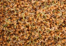 Sprouted wheat grass seeds as background. Closeup stock photos