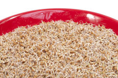 Sprouted wheat Royalty Free Stock Photos