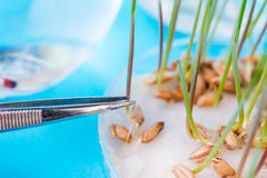 The sprouted  wheat seeds in the biotecnological  laboratory. Stock Images