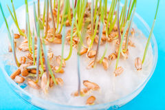 The sprouted  wheat seeds in the biotecnological  laboratory. Stock Image