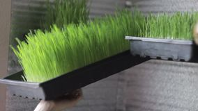 Sprouted wheat seeds. Wheat sprouts. Microgreens. Wheatgrass. stock footage