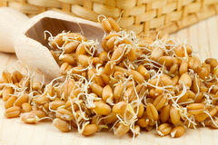 Sprouted wheat seeds with Wooden scoop Royalty Free Stock Photos