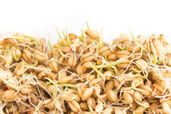 Sprouted wheat on a white background Royalty Free Stock Images
