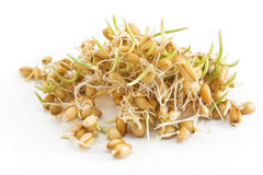 Sprouted wheat on a white background Royalty Free Stock Image