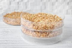 Sprouter with wheat grass seeds royalty free stock images